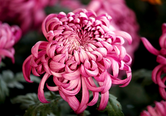 A krizantém - Chrysanthemum - sok vizet és párát igényel, cserébe azonban segít megtisztítani a lakás levegőjét.