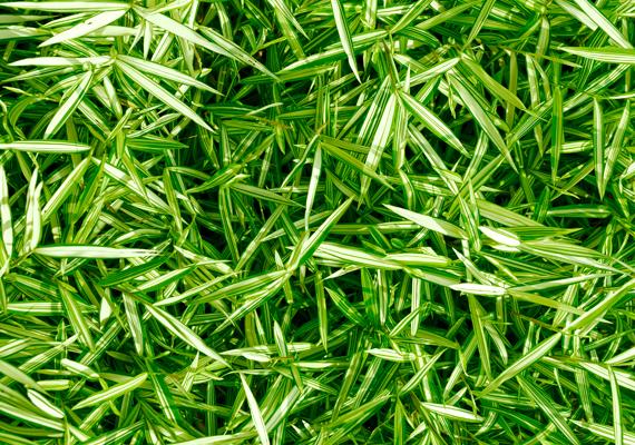 A zöldike - Chlorophytum comosum - tisztítja a levegőt, és a mágneses sugárzást is hatékonyan kivédheti. Mindemellett az egyik legkönnyebben tartható növény.