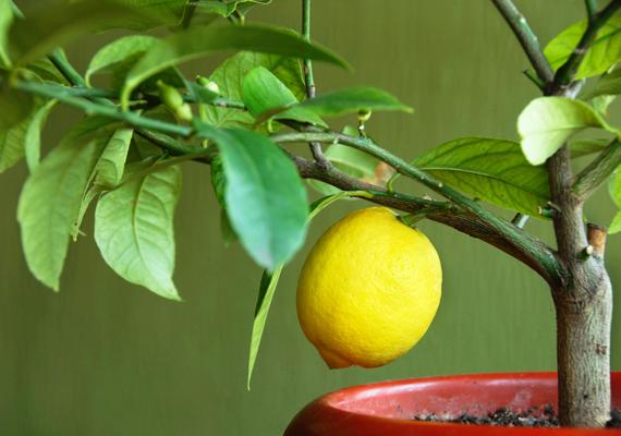 A kis cserepes gyümölcsfák a jólétet szimbolizálják, érdemes ezért ilyet elhelyezned a gazdagság területén. Kattints ide, és ismerj meg még több pénzhozó növényt!