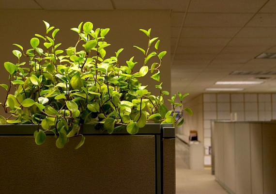 A szobanövények leveleit lélegzethez juttathatod, ha egy edény víz és néhány csepp sampon keverékébe mártott ronggyal törlöd tisztára őket.