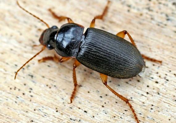 Sokan azt hiszik, csótánnyal van dolguk, mikor futrinkaféle téved a lakásba, ez a rovar azonban jóval ártalmatlanabb, veszélytelen, és nem terjeszt kórokozókat. A lakásokba a rajzási időszakban kerülhet be.