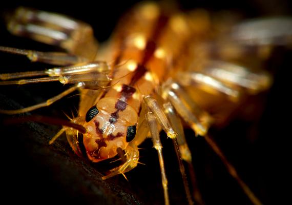 A pókszázlábú csápjai és végtagjainak mennyisége révén nem túl bizalomgerjesztő látvány. Igazi ragadozó, a legyet is meg tudja fogni, és mozgása is igen gyors. A magas páratartalmat kedveli, így elsősorban a fürdőszobában, a konyhában és a mellékhelyiségben fordulhat elő.