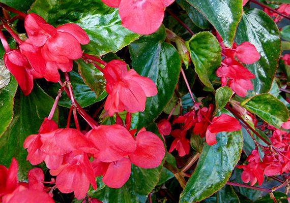 A nagy vízigényű begónia - Begonia x hybrida - védett helyet igényel, de jó árnyéktűrő, gumója pedig átteleltethető. Virágai sokféle színben pompázhatnak, főleg a piros, a rózsaszín és a fehér népszerű. Különösen szép változata a Dragon Wing, mely a képen is látható.