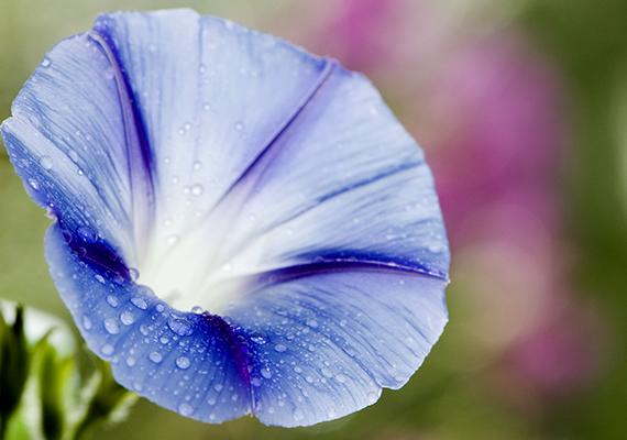 A vibráló színekben pompázó hajnalka - Ipomoea purpurea - futónövény, így fontos, hogy megfelelő helyet biztosíts neki. Közepes vízigényű növény, az erős, hideg szélnek kitett helyeket nem kedveli, annál szebb lesz azonban, ha olyan helyre ülteted, ahol reggeli napsütés éri.