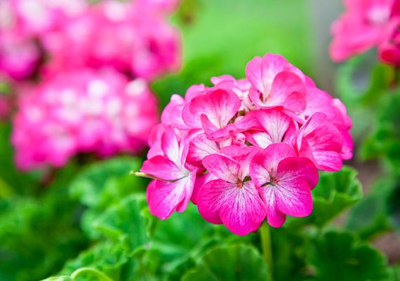 A közepes vízigényű, napfénykedvelő muskátlit - Pelargonium - mindenki ismeri, csüngő és álló fajtáit senkinek nem kell bemutatni, a piroson és a fehéren kívül azonban számtalan különféle színben ültethető, a bordós árnyalatoktól egészen a rózsaszín legkülönfélébb változataiig.