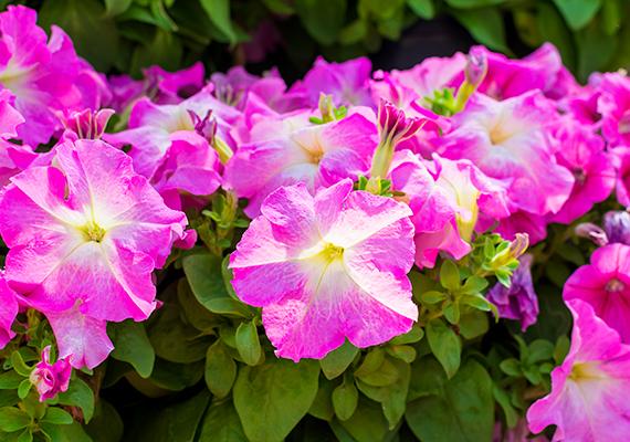 A petúniának - Petunia - léteznek csüngő és álló változatai is. Virágai is változatos színűek lehetnek, vízigénye azonban mindegyiknek magas. A növény 25 centi magasra is nőhet, illetve 50 centiméterig csünghet fajtától függően.
