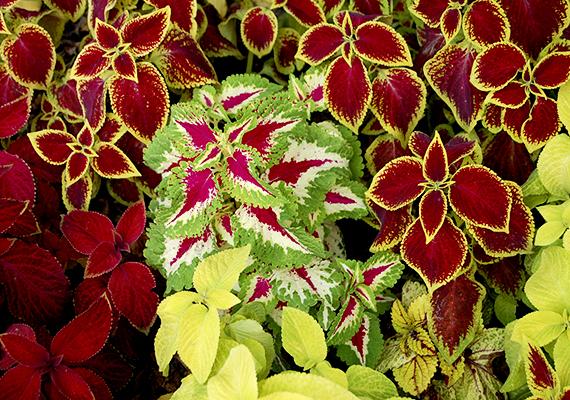 A vízigényesebbnek számító, árnyékot jobban tűrő virágcsalán - Solenostemon scutellaroides - zöld, bíbor, sárga és fehér levelei látványos díszei lehetnek az erkélynek, fontos azonban tudni, hogy ha erős napfény éri őket, kifakulhatnak.