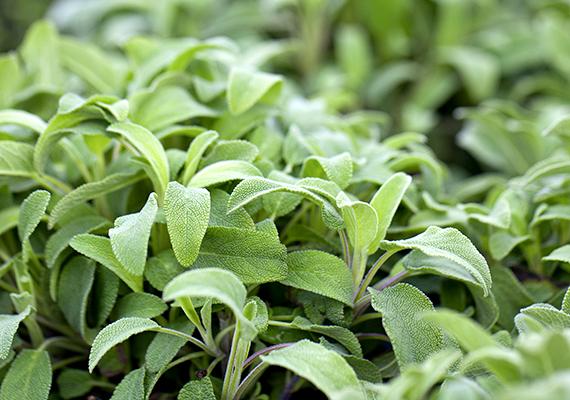 A közepes vízigényű, esetenként áttelelni is képes zsálya - Salvia officinalis - gyógynövényként is elterjedt faj, melynek kellemes illatot árasztó, tarka levelű változatai, melyek a zöld, a sárga, a fehér és a rózsaszín különböző árnyalataiban pompáznak, különösen impozánsak. De egyszerű, zöld változatában is kedves és hasznos dísze lehet az erkélynek.