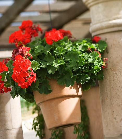 Virágos balkonnövényekA virágok elengedhetetlen kellékei az erkély dekorációjának. Az olyan könnyen kezelhető, népszerű fajtákkal, mint a muskátli, egyszerűen virágba boríthatod az erkélyt. A növényeket tarthatod balkonban az erkély korlátján, illetve függő virágkosarakban.