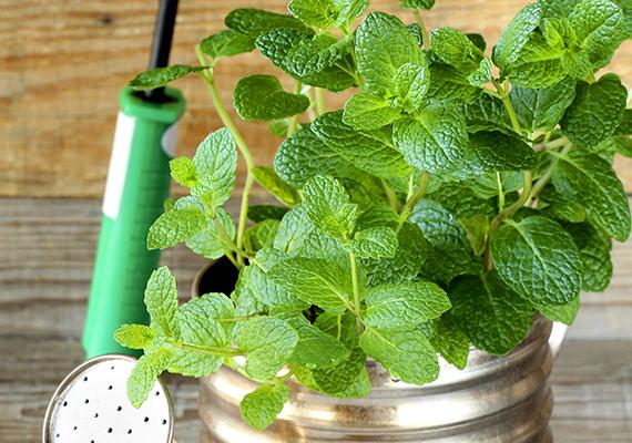 A fűszernövények az ablakpárkány tökéletes díszei lehetnek, emellett nincs is annál jobb érzés, mint amikor saját termesztésű, friss fűszerekkel ízesítheted az ételeidet. Kattints ide, és ismerd meg a legnépszerűbb, otthon is tartható fűszernövényeket! A képen a borsmenta - Mentha piperita - látható.
