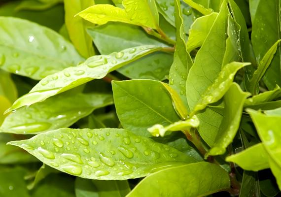 Bizonyos növények abban is segítenek, hogy távol tartsd a rovarokat, a cserépben is nevelhető babér például - Laurus nobilis - a csótányok elriasztására is alkalmas. További rovarriasztó növényekért kattints ide!