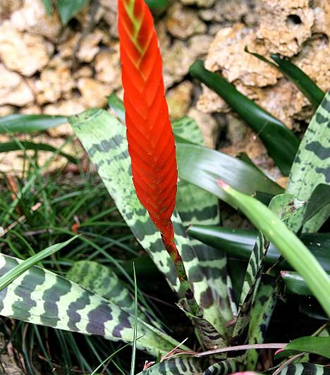 PikkelyvirágA Közép- és Dél-Amerikában, valamint Brazíliában őshonos pikkelyvirág meghálálja, ha meleg, párás helyre kerül. Napfényre azonban nincs nagy szüksége, az árnyékban nagyon jól érzi magát. Víz és tápanyag tekintetében azonban érdemes odafigyelni rá.