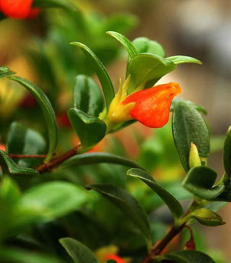 SzájvirágA Costa Rica, Panama és Puerto Rico esőerdeiben őshonos szájvirág örökzöld kúszónövény. Sem a közvetlen napfényt, sem a túl sok törődést nem szereti. Elegendő számára csupán egy félárnyékos hely, ahol hűvös van.
