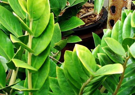 Az agglegénypálma - Zamioculcas zamiifolia - neve is magáért beszél: gyönyörű, zöld levelei feldobják a szobát, ugyanakkor vízből és fényből sem igényel sokat.