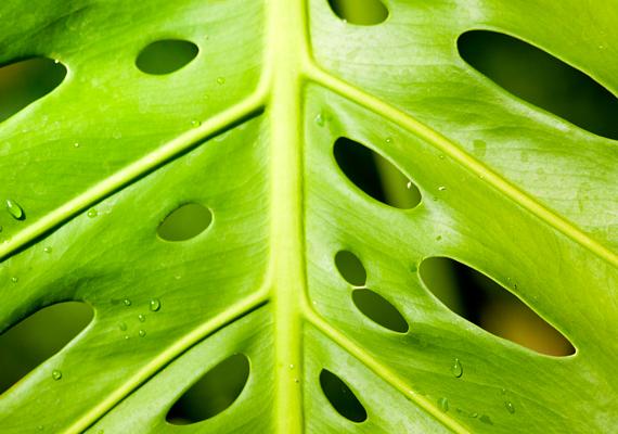 A filodendront - Philodendron bipinnatifidum - a kezdők növényének is nevezik, hiszen igen strapabíró. Fényigénye csekély, túlöntözni azonban nem szabad.