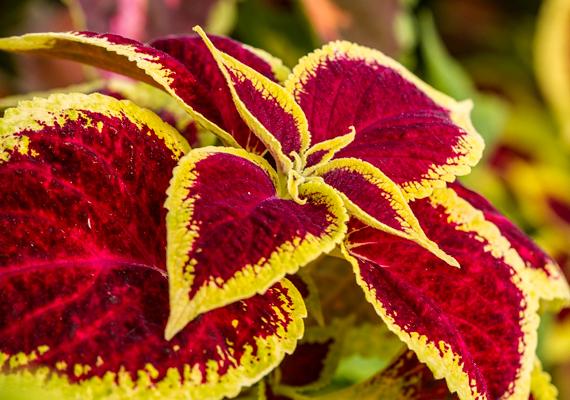 A mozaiklevél - Coleus - aprócska, de látványos növény, mely tápanyagok tekintetében nem túl igényes. Ha jól akarod tartani, azért nem árt figyelembe venni, hogy kedveli a sok vizet és a napfényt.