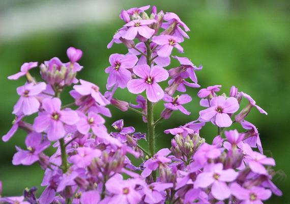Napközben az estike - Matthiola bicornis - szinte jelentéktelen virágnak számít, ám az este közeledtével szirmai kinyílnak, és csodás illatot árasztanak magukból. Az estike a napos helyeket szereti, és sűrű locsolást is igényel.