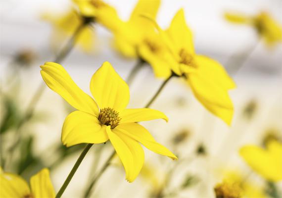 A balkon aranya néven is ismert farkasfog - Bidens ferulifolia - élénksárga színfoltja lehet a paneldzsungelnek. A növény nem igényel különösebb ápolást, anélkül is hozza aranyló virágait, viszont nem szereti, ha a talaja száraz. Édes illata nemcsak az emberi orrot bódítja, de a méheket is vonzza.