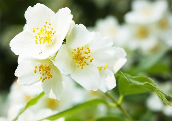 Nem véletlen, hogy parfümökben és kozmetikumokban is használják a jázmin - Jasminum polyanthum - illatát, hiszen a növény aromája igazán jellegzetes. A virág tartása egyébként nem bonyolult, az erős napfényt ugyan nem bírja, ennek ellenére jól tartható. Vizet viszont sokat kér, sose maradjon száraz a földje!