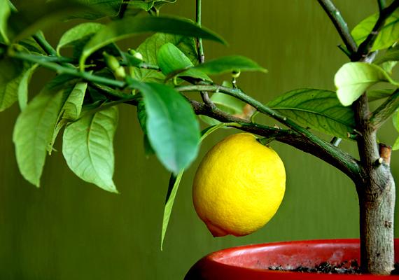 A citromfát - Citrus limon - a szobában is nevelheted, csodás, illatos virágokkal és dekoratív terméssel ajándékoz meg, Figyelj azonban arra, hogy nagyon vízigényes növény, és a napos, meleg helyeket kedveli.