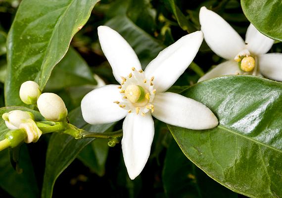 A szobanövényként is könnyen tartható jázmin - Jasminum - csodás illattal ajándékoz meg, ha megfelelően tartod. Nyáron öntözd bőségesen, virágzás után pedig vágd vissza.