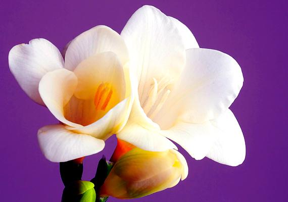 A frézia - Fresia - az egyik legillatosabb növény, ráadásul cserépben is tarthatod. Amíg virágzik, tartsd nedvesen a talaját, és tedd napos helyre.