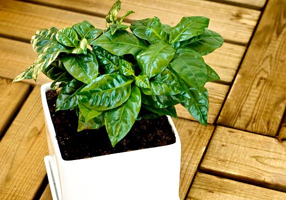 A kávécserjét - Coffea - szobanövényként is tarthatod, rendkívül illatos, a jázminéhoz hasonló virágokat hoz majd. Strapabíró növény, a kevés fényt és a száraz levegőt is bírja, nyáron azonban érdemes jobban öntözni, télen pedig mérsékelni azt.