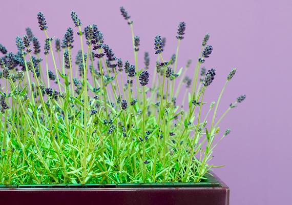 A cserépben tartott levendula - Lavandula angustifolia - otthonodba is kellemes, fűszeres illatot csempész. Ritkán kell öntözni, de sok fényre van szüksége, ezért lehetőleg tartsd az ablakban.