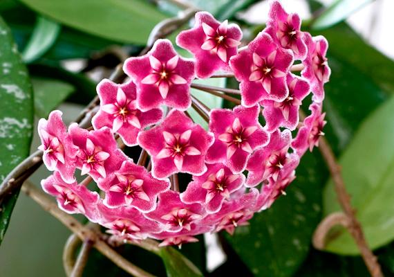 A viaszvirágot - Hoya - édes, bódító illata miatt mézvirágnak is nevezik. Nyáron öntözd jobban, mint télen, tartsd napos ablakban, és ügyelj rá, hogy ne ültesd túl nagy cserépbe, ebben az esetben ugyanis elmaradnak a virágai, és csak levelei nőnek majd.