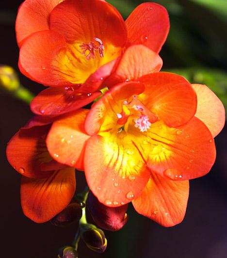 Frézia  A fréziát - Fresia - a legtöbben csak vágott virágként ismerik, pedig kertben vagy cserépben is nevelhető. A holland kertészeknek hála számtalan színváltozat létezik, és a nemesítések során az egyébként elég kényes frézia ellenállóbb is lett. A fagyra azonban még mindig nagyon érzékeny, ezért az erkélyen legfeljebb csak nyáron tartsd, ősszel már vidd be a lakásba.  Kapcsolódó cikk: 3 csodatévő gyógynövény, ami a lakás dísze lehet »
