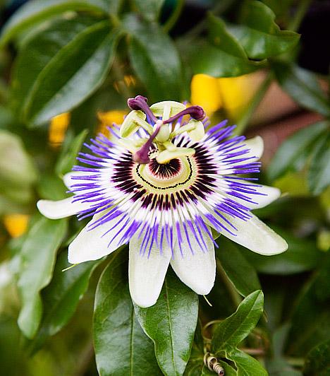 Golgotavirág  A golgotavirág - Passiflora - a hiedelem szerint Jézus szenvedését jelképezi. A pompás, illatos virágokat hozó, örökzöld kúszónövényt az erkélyen érdemes tartanod, hiszen akár az egy-három méteres magasságot is elérheti. A golgotavirágnak több mint négyszáz különböző hibridje ismert. Jól érzi magát a tűző napon is, de a virágzási időszakban rendszeres locsolást és tápoldatozást igényel.  Kapcsolódó cikk: 3 balkonnövény, ami a tűző napon is életben marad »