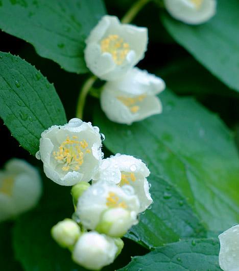 Jázmin  A nőiesség jelképeként is emlegetett jázmin - Jasminum - hazánkban szobanövényként vált népszerűvé. A semmihez sem fogható illatot árasztó, dúsan nyíló, apró fehér virágok sok parfüm alapját is képezik. A jázmin tartása kifejezetten egyszerű, mivel szívós, strapabíró kúszónövényről van szó. Tavasszal és nyáron akár az erkélyre is kiteheted, hogy élvezze a napfényt. Mindenképpen gondoskodj támasztékról, hogy legyen mire felfutnia. Nyáron öntözd bőségesen, télen kevesebb vízzel is beéri. Virágzás után vágd vissza a növényt.