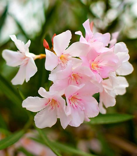 Palackfa  A palackfa - Adenium obesum - illatos, színpompás virágaival az ablakpárkány dísze lehet. A mediterrán vidékről származó virágot a leanderrel keresztezve nemesítették szobanövénnyé. Meleg, napos helyeken bőségesen virágzik, kifejezetten fagyérzékeny, 15 Celsius-fok alatti hőmérsékleten már nem érzi jól magát.