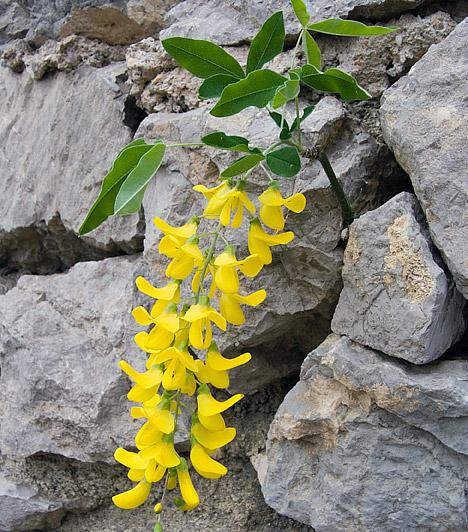 Mimóza  A világ legszemérmesebb növénye, a mimóza - Mimosa Pudica - Dél-Amerikában őshonos, legjellemzőbb tulajdonsága, hogy érintésre összezárja szirmait. A szobanövényként is tartható, fél méterre növő, illatos, sárga virágokat hozó mimóza a napfényes helyet szereti. Jól érzi magát az ablakban, és mérsékelt vízzel is beéri.