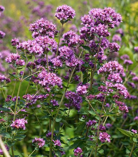 Oregánó  Az oregánót vagy szurokfüvet - Origanum vulgare - a legtöbben csak porrá tört, szárított formában ismerik, pedig a bájos kis lila virágokat hozó növényke illatos dísze lehet a konyhaablaknak vagy az erkélynek. A napos, meleg helyeket kedveli, és nem igényel sok vizet. Télen vidd olyan helyre, ahol nem fagyhatnak el a gyökerei.  Kapcsolódó cikk: 4 igénytelen, dúsan virágzó növény az erkélyre »