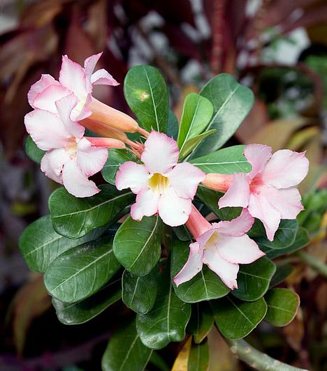 Leander  A leander - Nerium oleander - tartása nem igényel különösebb törődést, de, ha kecses, illatos virágaiban is gyönyörködnél, akkor öntözd rendszeresen, és ültesd tápoldatban gazgad talajba. Az örökzöld balkonnövény a tűző napon is jól érzi magát, virágai, melyeket nyár elejétől az őszig hoz, fehérek, rózsaszínek, pirosak vagy sárgák lehetnek.