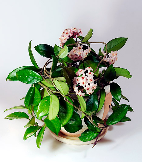 Viaszvirág  A viaszvirágot - Hoya - porcelánvirágnak vagy - édes, bódító illata miatt - mézvirágnak is nevezik. Futtasd fel növénylétrára vagy drótkarikára - a kúszónövény viaszos levelei önmagukban is mutatósak, de a nyár elején megjelenő mézillatú virágok adják a viaszvirág igazi esztétikai értékét. Ne ültesd túl nagy cserépbe, mert akkor csak a levelei nőnek, a virágok elmaradnak. Déli fekvésű, napos ablakban érzi jól magát, nyáron öntözd bőségesen.