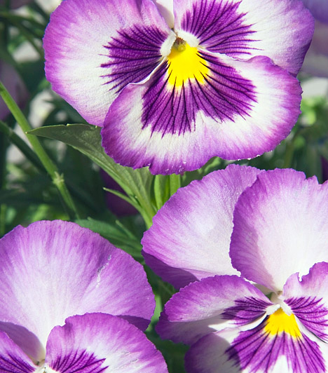 Viola  A viola számtalan hibridje közül biztosan te is találsz neked tetsző színt, formát és méretet. A bájos, ibolyaillatú növények az erkélyen is jól érzik magukat, de a szobának is kedves díszei lehetnek. Gondozásuk változatonként eltérhet, mindig érdeklődj a kertészetben, ahol a növényt vásárolod.