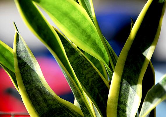 Az anyósnyelv - Sansevieria trifasciata - szintén hatékony légtisztító növény, esetében azonban néhány dologra már jobban kell figyelni: ne legyen túl hűvös a helyiségben, emellett semmiképpen se öntözd túl, töve ugyanis könnyen rothadásnak indulhat. A szűrt fényt kedveli, tűző napsütésnek semmiképpen se tedd ki.