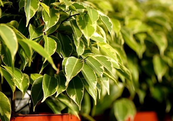 A csüngőágú fikusz - Ficus benjamina - szintén remek légtisztító növény, emellett képes lehet állítólag arra is, hogy a szoba negatív energiáit - például amit az elektroszmog jelent - leveleiben gyűjtse össze, melyek, ha megteltek, lehullnak. A növény szintén a mérsékelt öntözést kedveli, emellett adj neki elég fényt, de a közvetlen napsütéstől óvd, és lehetőleg ne váltogasd gyakran a helyét.