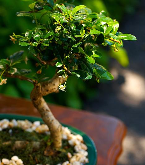 BonsaiSokan hiszik, hogy a feng shui kedveli ezt a növényt, tekintettel arra, hogy őshazája Kína. Csakhogy a bonsai tartása nem ajánlott annak rendkívül lassú növekedése miatt. Úgy tartják, hogy lassúságával visszafogja a chit, ezzel együtt a lakás tulajdonosának energiáját is.