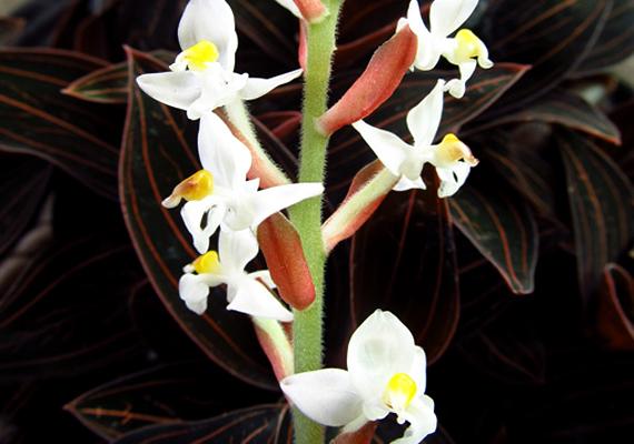 Az ékszerorchidea - Ludisia Discolor - a többi orchideaféléhez hasonlóan nagyon érzékeny. Csak mérsékelt melegben érzi jól magát, túlöntözés esetén pedig nagyon gyorsan elpusztul.