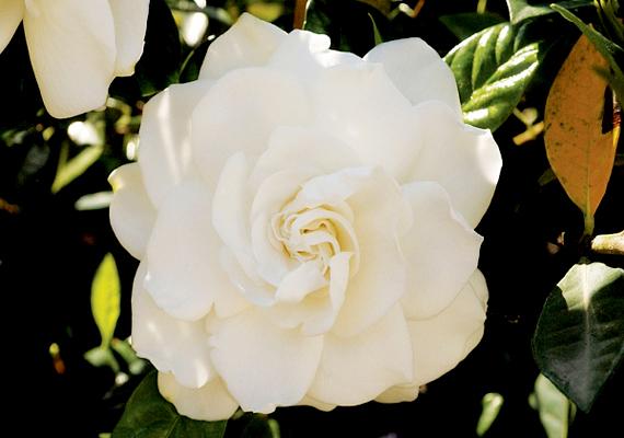 A gardénia - Gardenia jasminoides - az egyik legigényesebb szobanövény: igényli a meleg nappalokat és a hűvös éjszakákat, a közepesen párás levegőt, valamint a tápoldatozást is.