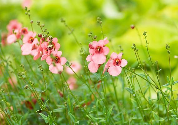 A kanálajak - Diascia barberae - a verőfényes napsütést kedveli, rendszeres locsolással. A bokrosodó, apró virágú növényben áprilistól októberig gyönyörködhetsz.