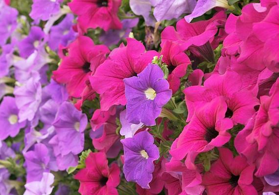 A petúnia - Petunia - májustól októberig nyílik, imádja a napfényt, de vigyázz, mert rengeteg vizet igényel! Amikor elszárad egy szirom vagy egy virág, csípd le, hogy új nőhessen a helyébe.