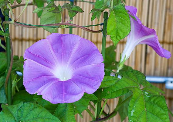 A hajnalka - Ipomoea - virágai kicsit a petúniáéhoz hasonlítanak, de annál selymesebbek, nagyobbak és előkelőbbek.