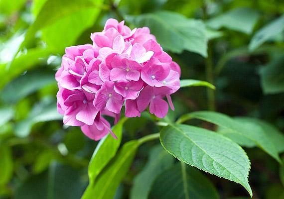 Nagy, labda alakú virágaival a hortenzia - Hydrangea - paradicsomi hangulatot teremt az erkélyen.