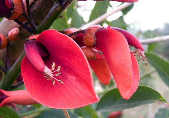 A tarajos korallfa - Erythrina crista-galli - ideális választás, ha mutatós, egzotikus és ellenálló dézsás növényt keresel a balkonra.