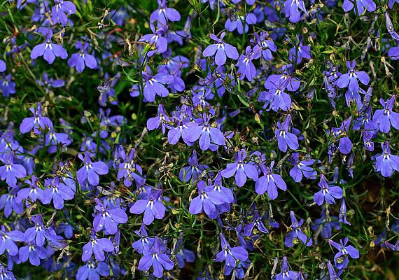 A flamand botanikus után elnevezett lobélia - Lobelia - dézsákban, balkonládákban és függőkosarakban is jól érzi magát.