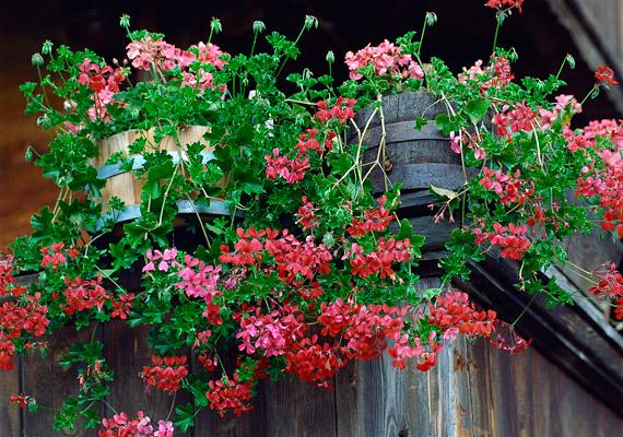A muskátli - Pelargonium - változatos megjelenésének és szívósságának köszönheti népszerűségét.